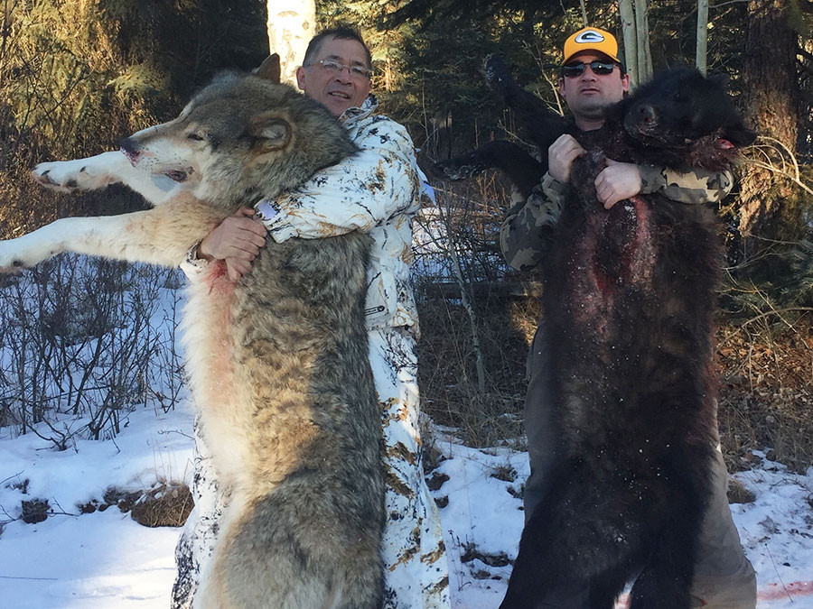 BC Winter Wolf Hunt